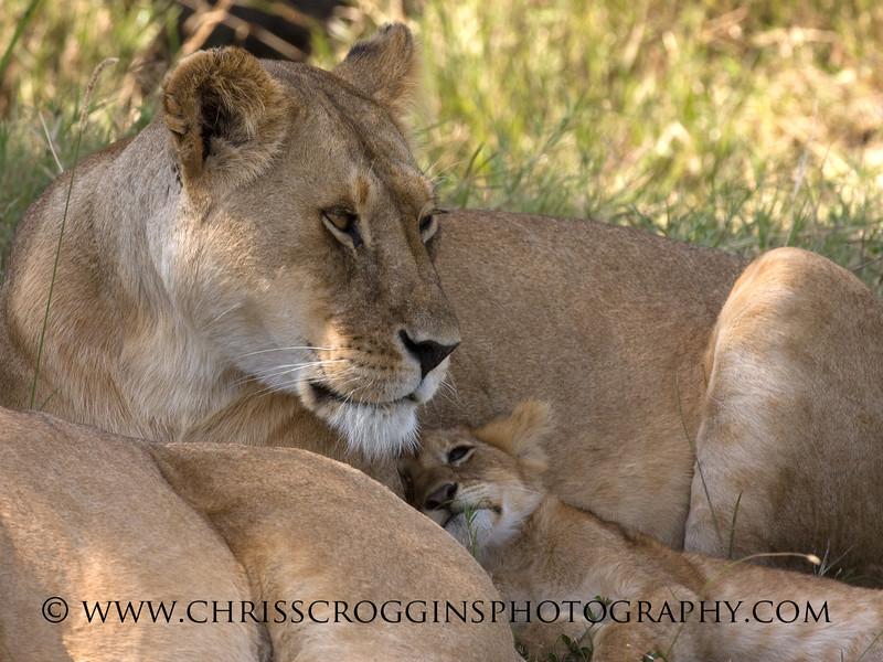 Lion Mother and Cub, <br /> Ndutu, Tanzania.