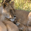 Lion Mother and Cub, <br /> Ndutu, Tanzania.
