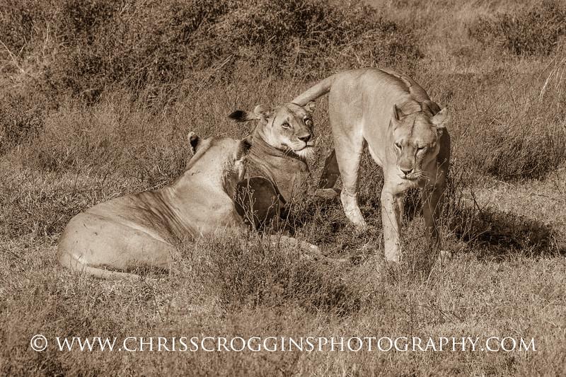Three Lioness Resting H