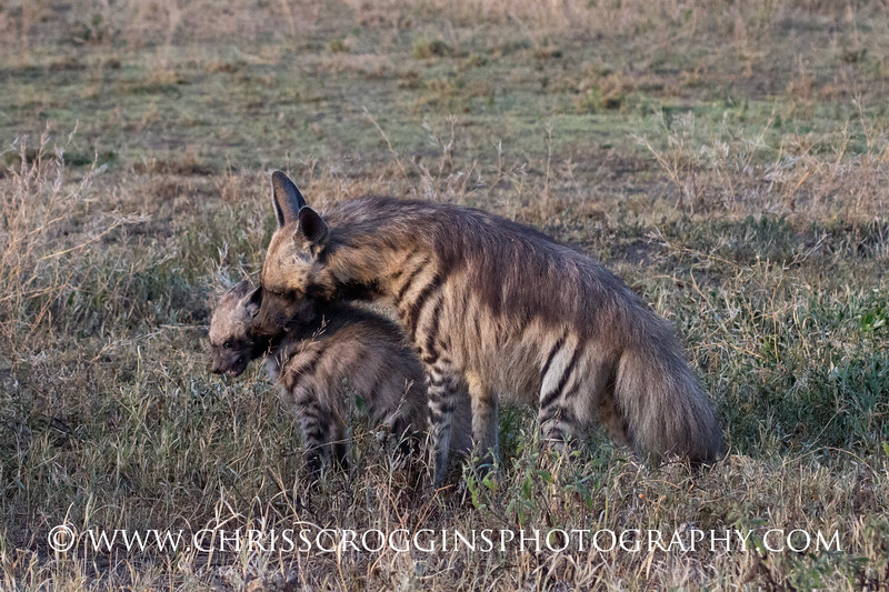 Striped Hyena Mother and Cub