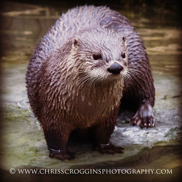 American River Otter.<br /> ZooAmerica,<br />  Hershey, Pennsylvania.