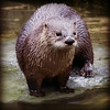 American River Otter.<br /> ZooAmerica,<br />  Hershey, Pennsylvania.