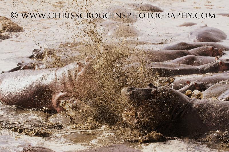 Hippo Loses It