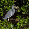 Little Blue Heron.<br /> Ding Darling National Wildlife Refuge.<br /> Sanibel Island, Florida.