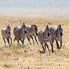 Wild African Zebras Running.
