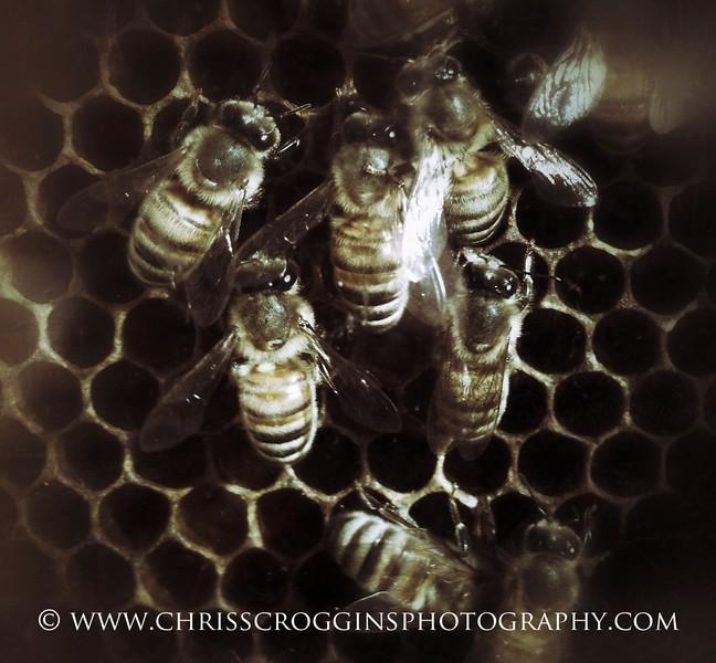 American Honey Bees