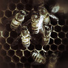 American Honey Bees
