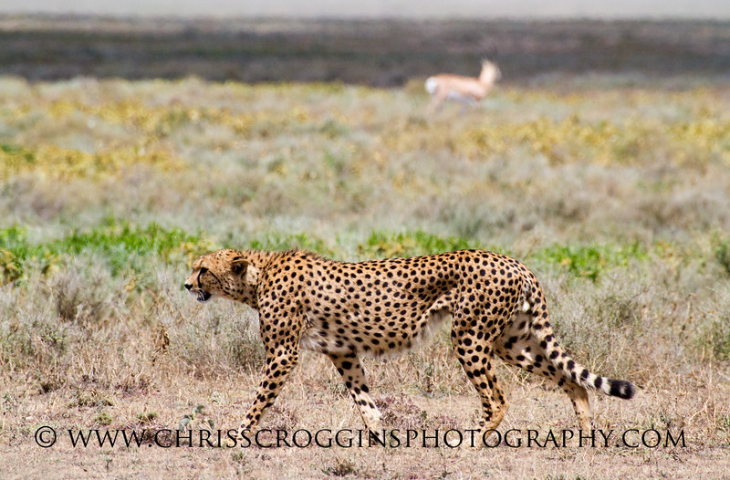 The Hungry Red Cheetah H