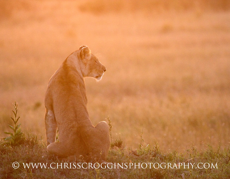 Lioness at Sunrise,<br />  Masai Mara, Kenya.