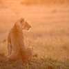 Lioness at Sunrise,<br />  Masai Mara, Kenya.