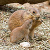 Prairie Dog Begging 2
