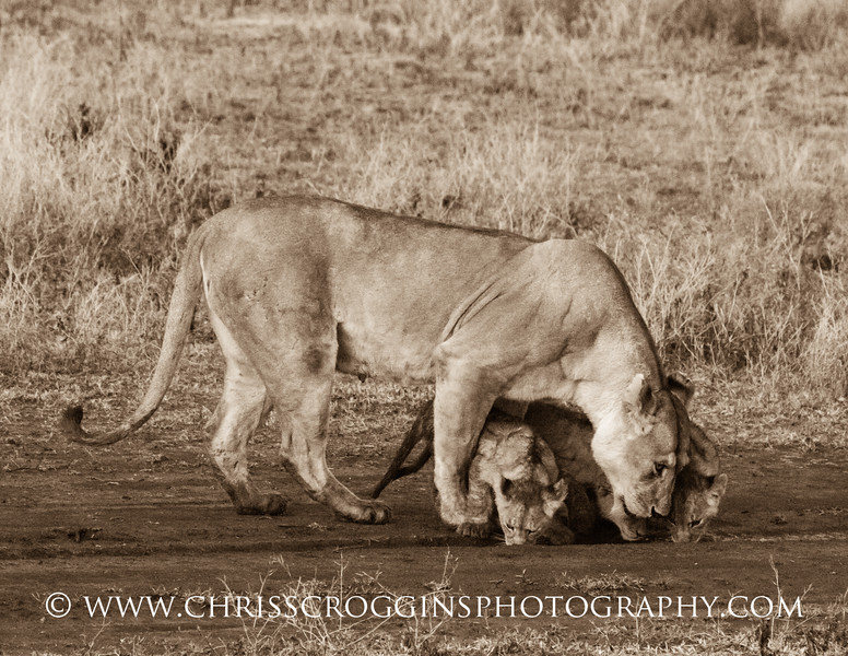 Thirsty Lions.<br /> Mother Lion and Cubs in Africa.