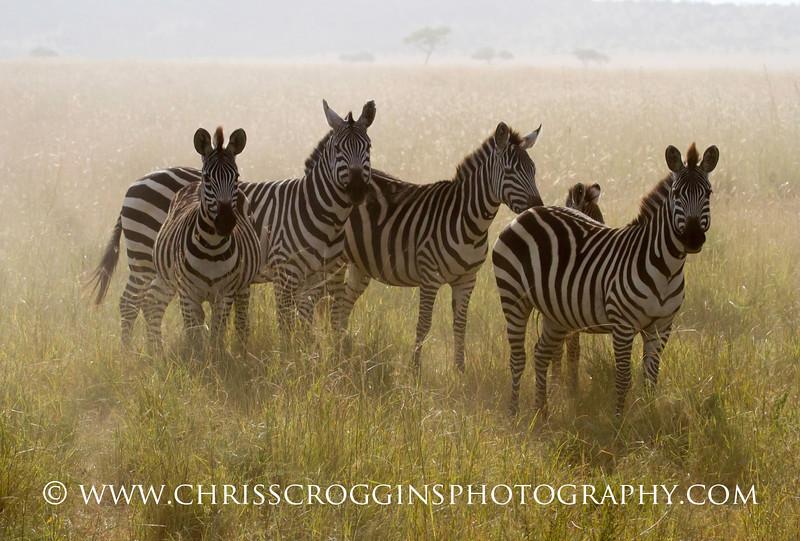 Zebras in Dust.