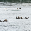 Raft of Sea Otters