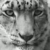 Snow Leopard.<br /> Central Park Zoo.