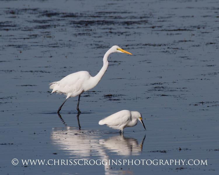 Great Egret and Snowy Egret.<br />  Ding Darling National Wildlife Refuge,<br />  Sanibel Island, Florida.