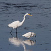 Great Egret and Snowy Egret.<br />  Ding Darling National Wildlife Refuge,<br />  Sanibel Island, Florida.