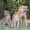 The milk bar is closed-<br /> Mother lions discourage nursing by quietly baring their teeth in this fashion.
