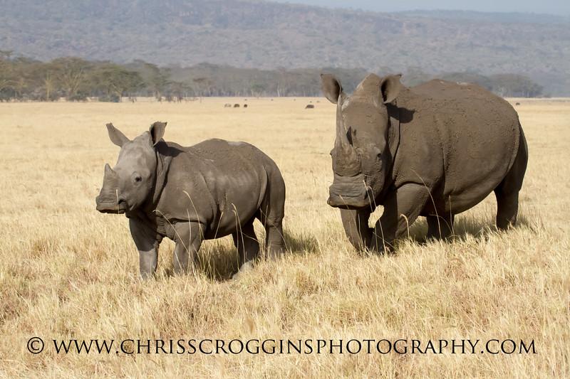 White Rhino Calf and Mother.<br /> Lake Nakuru, Kenya.