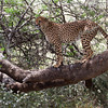 Red Cheetah in Tree