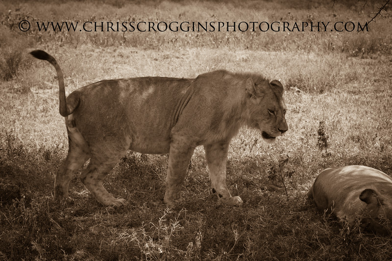 Maneless Lions in Africa.