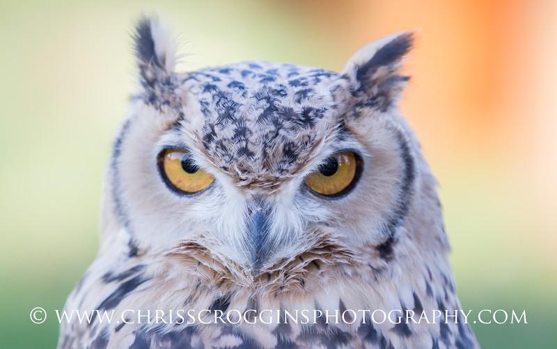Pharaoh's Eagle-owl