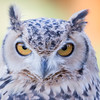 Pharaoh's Eagle-owl