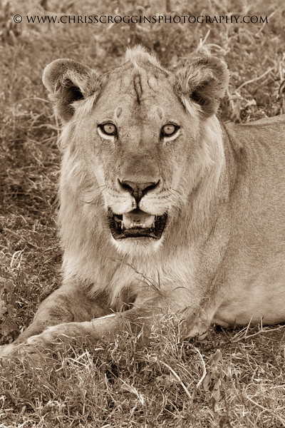 Portrait of a Maneless Lion.<br /> Suthern Serengeti Plains. <br /> Tanzania, East Africa.