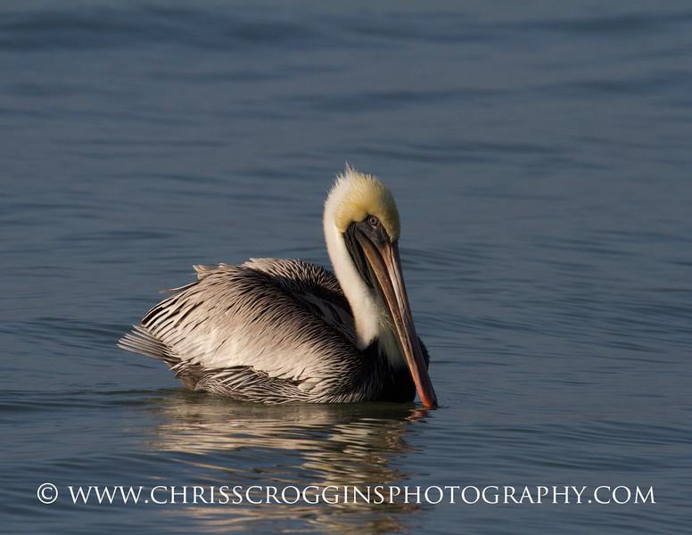 Brown Pelican.<br /> Sanibel island, Florida.