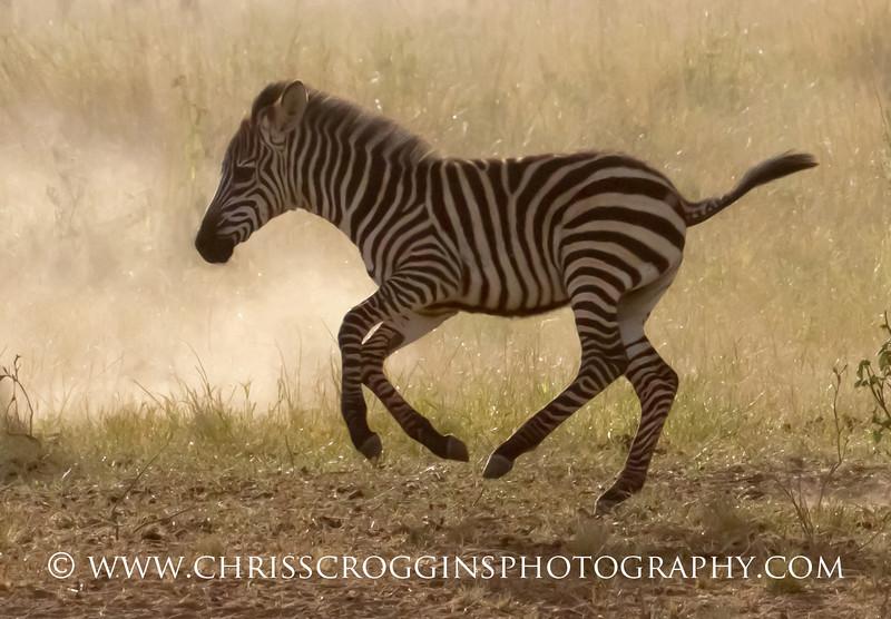 Baby Zebra Running,<br /> Serengeti National Park,<br /> Tanzania.