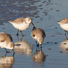 Sanderlings Feeding.<br /> Sanibel Island.