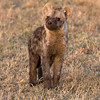 Curious Spotted Hyena Cub