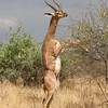 Upright Gerenuk