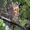 Red-Shouldered Hawk 2