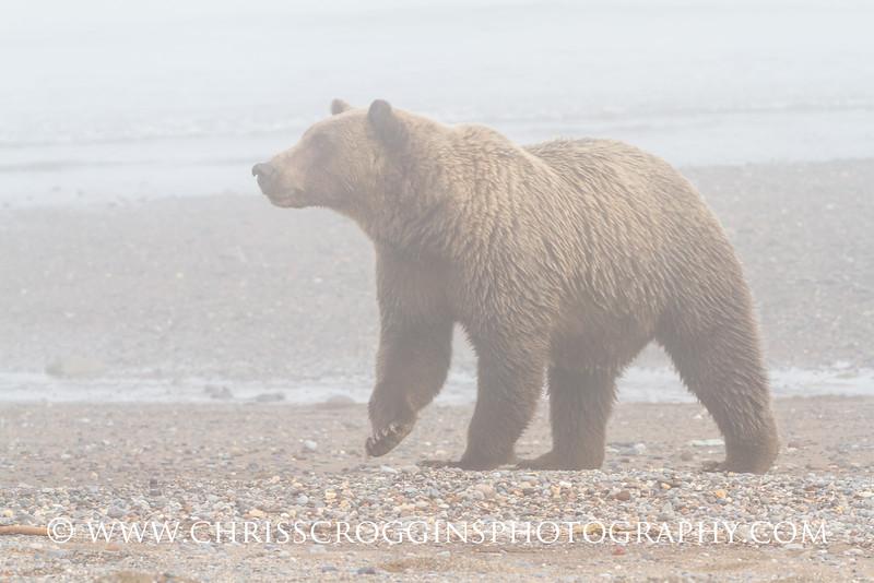 Bear in Fog