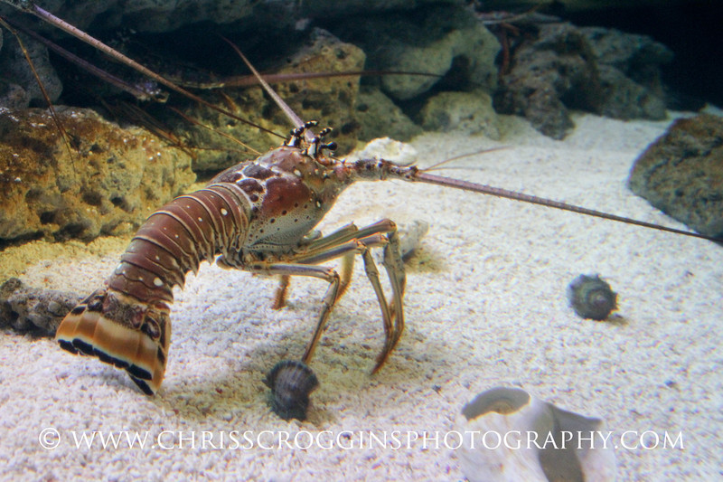 Carribean Spiny Lobster 1