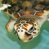 Loggerhead Sea Turtle 2