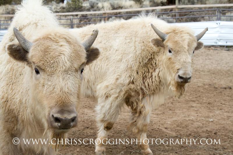 Curious Calves 1