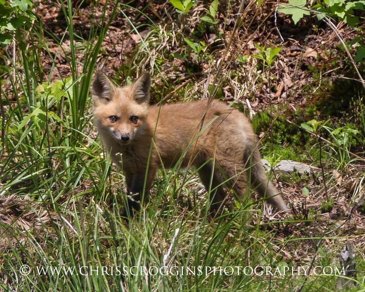 Foxy 2