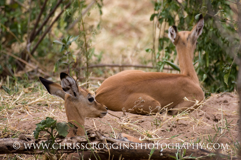 Impala Fawns Resting