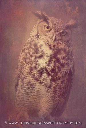 Great Horned Owl 4