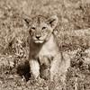 Little Lion Cub.