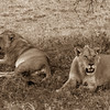 Two Maneless Lions.<br /> Southern Serengeti Plains.<br /> Tanzania, East Africa.