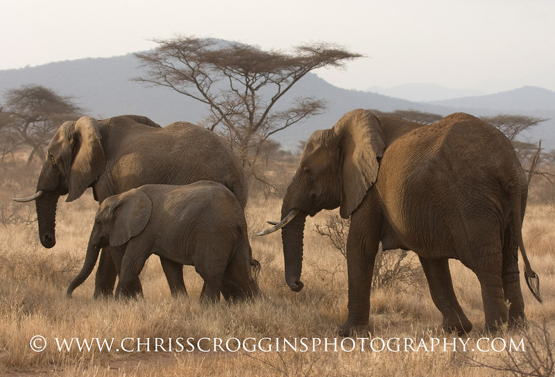 Elephant herd Samburu