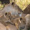 Lion Pride Siesta