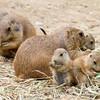 Prairie Dog Lunch Hour