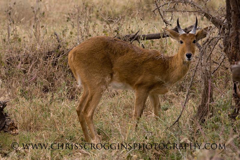 Common Reedbuck