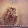 Screech Owl 5