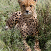 Red Cheetah in Grass