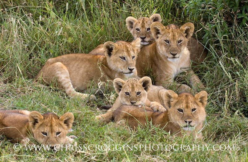 Six Lion Cubs